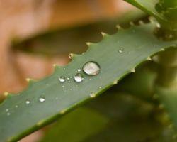 Как поливать алоэ: правила полива и полезные рекомендации